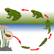 Le cycle de la grenouille